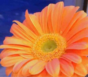 complementary colors gerber daisy