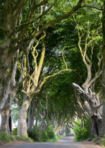 The soaring and mysterious Dark Hedges aka the Kings Road in the Game of Thrones